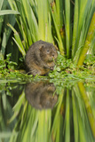 Water Vole (Arvicola Terrestris) Eating, Kent, England, UK, March Photographic Print by Terry Whittaker