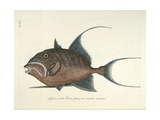 Queen Triggerfish Giclee Print by Mark Catesby