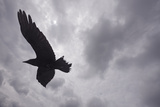 Raven (Corvus Corax) in Flight, Silhouetted, the Burren, County Clare, Ireland, June 2009 Photographie par  Hermansen
