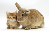 Ginger Kitten with Lionhead-Cross Rabbit Photographic Print by Mark Taylor