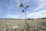 White Campion (Silene Latifolia) Growing on Brownfield Site Scheduled for Development. Kent, UK Photographic Print by Terry Whittaker