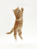 Ginger Kitten Leaping Leaping Up Photographic Print by Mark Taylor