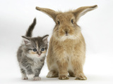 Tabby Kitten with Sandy Lionhead-Cross Photographic Print by Mark Taylor