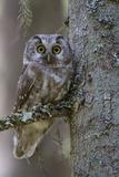 Tengmalms Owl (Aegolius Funereus) Perched in Tree, Bergslagen, Sweden, June 2009 Fotoprint van  Cairns
