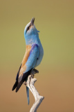 European Roller (Coracias Garrulus) Calling, Pusztaszer, Hungary, May 2008 Reproduction photographique par  Varesvuo