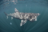 Basking Shark (Cetorhinus Maximus) Off the Island of Mull, Scotland, June Photographic Print by  Sá