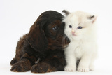 Cockerpoo Puppy and Ragdoll-Cross Kitten Photographic Print by Mark Taylor