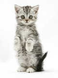 Silver Tabby Kitten Sitting with Paws Up Photographic Print by Mark Taylor