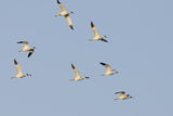 Avocet (Recurvirostra Avosetta) Flock in Flight, Elmley Marshes, Rspb, Isle of Sheppey, UK Reproduction photographique par Terry Whittaker
