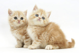 Two Ginger Kittens Photographic Print by Mark Taylor