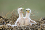 Steppe Eagle (Aquila Nipalensis) Chicks, Cherniye Zemli Nature Reserve, Kalmykia, Russia, May Photographic Print by  Shpilenok