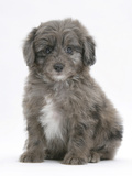 Shetland Sheepdog X Poodle Puppy, 7 Weeks Photographic Print by Mark Taylor
