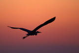 Grey Heron (Ardea Cinerea) Silhouette in Flight at Sunset, Pusztaszer, Hungary, May 2008 Photographic Print by  Varesvuo
