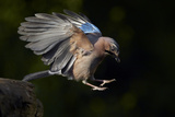 Jay (Garrulus Glandarius) Landing at Water, Pusztaszer, Hungary, May 2008 Photographic Print by  Varesvuo
