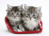 Two Maine Coon Kittens in a Christmas Hat Photographic Print by Mark Taylor