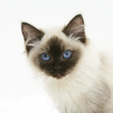 Ragdoll Kitten, 12 Weeks, Face Portrait Photographic Print by Mark Taylor