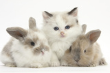 Colourpoint Kitten with Two Baby Rabbits Photographic Print by Mark Taylor