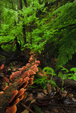 Laurisilva Forest Floor, with Fungi Growing on Fallen Tree, Tilos Np, La Palma, Canary Islands Photographic Print by Relanzón