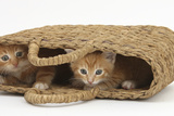 Two Ginger Kittens Hiding in a Raffia Bag Photographic Print by Mark Taylor