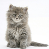 Maine Coon Kitten, 7 Weeks, Sitting Photographic Print by Mark Taylor