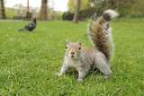 Grey Squirrel (Sciurus Carolinensis) on Grass in Parkland, Regent's Park, London, UK, April 2011 Photographic Print by Terry Whittaker