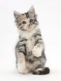Maine Coon-Cross Kitten, 7 Weeks Photographic Print by Mark Taylor