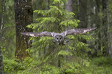 Great Grey Owl (Strix Nebulosa) in Flight in Boreal Forest, Northern Oulu, Finland, June 2008 Photographic Print by  Cairns