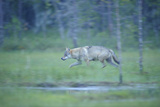 Wild European Grey Wolf (Canis Lupus) Walking, Kuhmo, Finland, July 2008 Photographic Print by  Widstrand