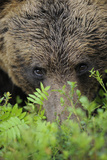 Eurasian Brown Bear (Ursus Arctos) Close-Up of Face, Suomussalmi, Finland, July Photographic Print by  Widstrand