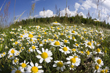 Meadow with Flowering Corn Camomile (Anthemis Arvensis) East Slovakia, Europe, June 2008 Photographic Print by  Wothe