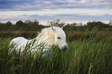 White Camargue Horse, Stallion in Tall Grass, Camargue, France, April 2009 Photographic Print by  Allofs
