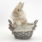 Lionhead Cross Bunny in a Basket Photographic Print by Mark Taylor