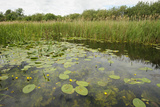 Waterlilies Flowering, Wicken Fen, Cambridgeshire, UK, June 2011 Photographic Print by Terry Whittaker
