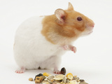 Short-Haired Syrian Hamster with Food Seeds Photographic Print by Mark Taylor