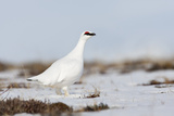 Rock Ptarmigan (Lagopus Mutus) Standing in Snow, Myvatn, Thingeyjarsyslur, Iceland, April 2009 Photographie par  Bergmann