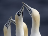 Gannets (Morus Bassanus) Saltee Islands, County Wexford, Ireland, June 2009 Photographic Print by  Hermansen