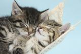Two Cute Tabby Kittens Asleep in a Hammock Fotoprint van Mark Taylor
