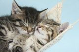 Two Cute Tabby Kittens Asleep in a Hammock Photographic Print by Mark Taylor