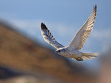 Gyrfalcon (Falco Rusticolus) in Flight, Disko Bay, Greenland, August 2009 Photographic Print by  Jensen