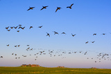 Brent Geese (Branta Bernicla) in Flight, Hallig Hooge, Germany, April 2009 Photographic Print by  Novák