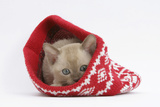 Burmese Kitten in a Christmas Hat Photographic Print by Mark Taylor