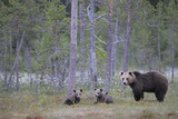 Eurasian Brown Bear (Ursus Arctos) Mother and Cubs in Woodland, Suomussalmi, Finland, July 2008 Photographic Print by  Widstrand