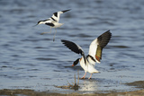 Avocet (Recurvirostra Avosetta) Trying to Drive Shelduck (Tadorna Tadorna) Pair Away, Kent, UK Reproduction photographique par Terry Whittaker
