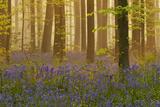 Bluebells Flowering in Wood, Dawn Light, in Beech Wood, Hallerbos, Belgium Photographic Print by  Biancarelli