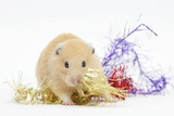 Golden Hamster with Christmas Decorations Photographic Print by Mark Taylor