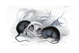 Black Rat Caught in Trap Giclee Print