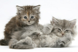 Two Maine Coon Kittens, 7 Weeks Photographic Print by Mark Taylor