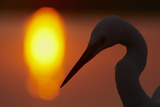 Silhouette of Great Egret (Ardea Alba) at Sunset, Pusztaszer, Hungary, May 2008 Photographic Print by Varesvuo