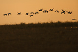 Flock of Demoiselle Cranes (Anthropoides Virgo) in Flight at Sunrise, Bagerova Steppe, Ukraine Photographic Print by Lesniewski