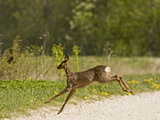 Roe Deer (Capreolus Capreolus) Leaping, Matsalu National Park, Estonia, May 2009 Photographic Print by  Rautiainen